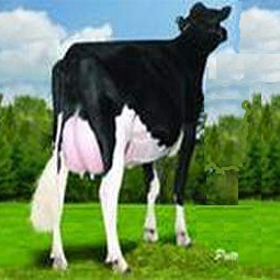 hamyartest - همیار تست - نمونه سوال و آزمون آنلاین - سوال فنی و حرفه ای - گاو شیری و گوشتی